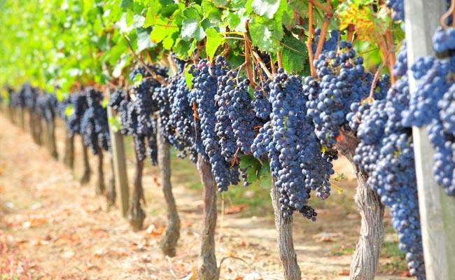 Виноградники региона Франции, Пуату